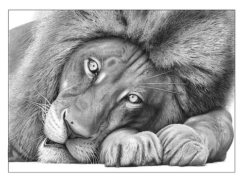Head portrait of an African lion lying down