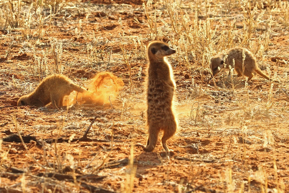 A meerkat on the lookout, while others forage on the ground