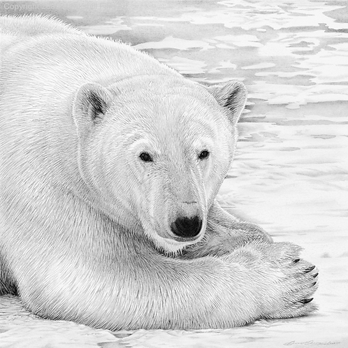 Portrait head and and shoulders of a Polar bear with ice flow in the background
