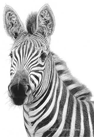Old Curly (Zebra)_edited.png