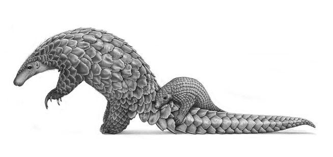 Pangolin, by David Dancey-Wood.jpg