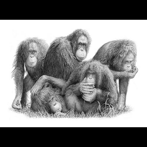 Composed portrait of five female Orangutans