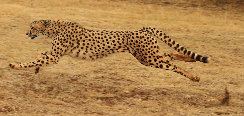 A leaping Cheetah running to the right