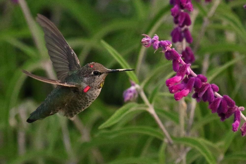 Anna's Hummingbird hovering beside a purple flower