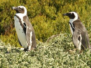 Penguin parade, by Jon Isaacs