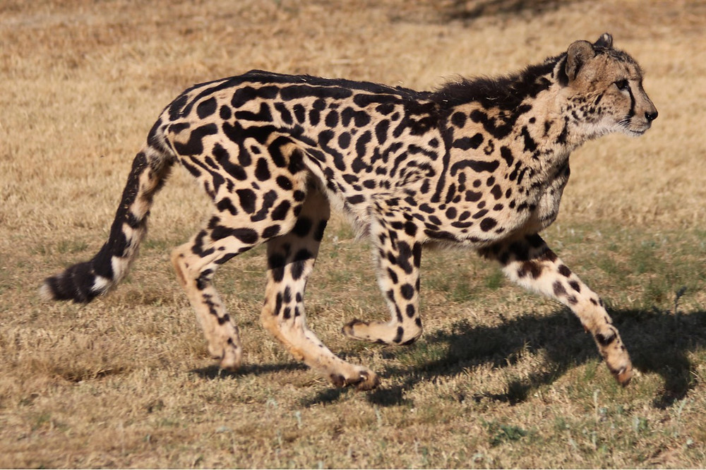 A King Cheetah ambling to the right