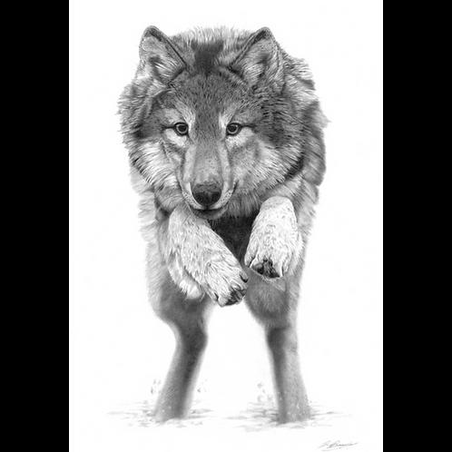 Grey wolf leaping forward