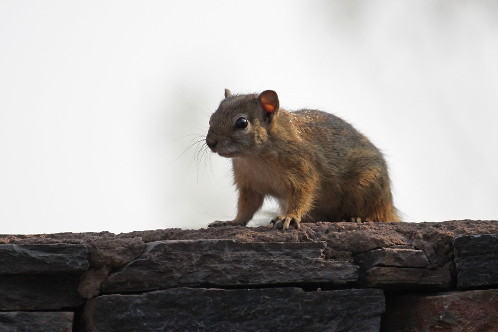 African Squirrel standing ontop of a stone wall