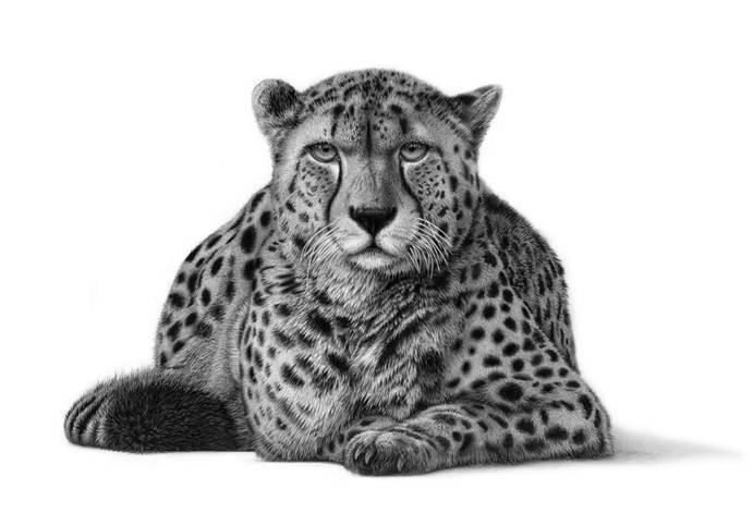 Pencil drawing of cheetah lying down and looking directly at the viewer