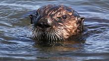 Otterly lovely! By Jon Isaacs