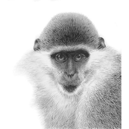 Close up head portrait of a Ververt Monkey looking directly at the viewer
