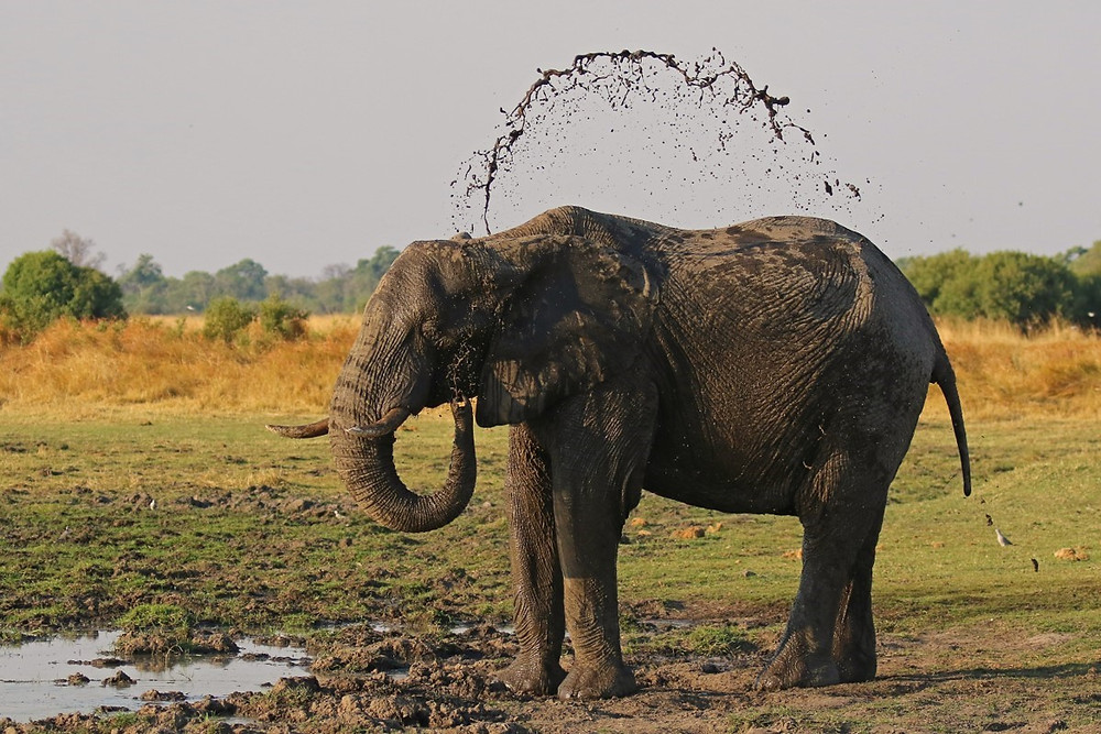 A standing elephant throwing mud over its back