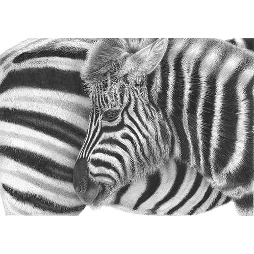 Close up portrait of a young zebra standing alongside it's mother