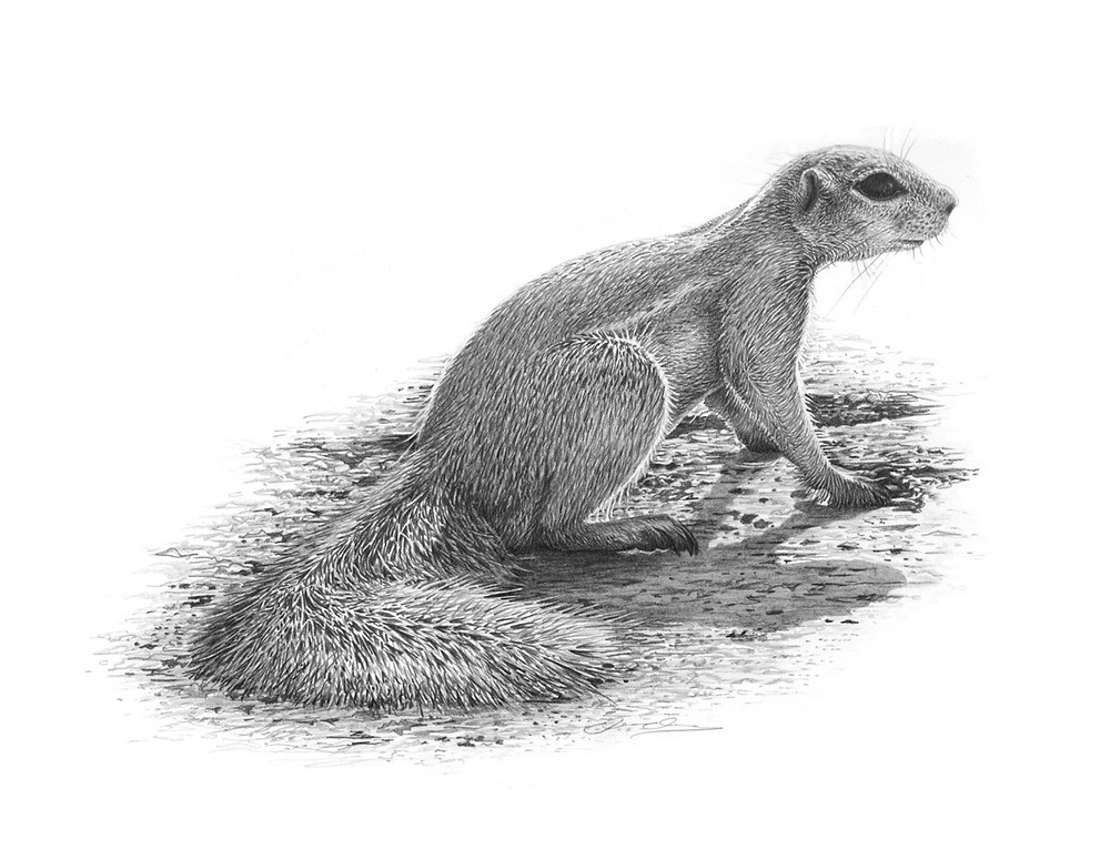 Pencil drawing of an African Squirrel sitting on the ground