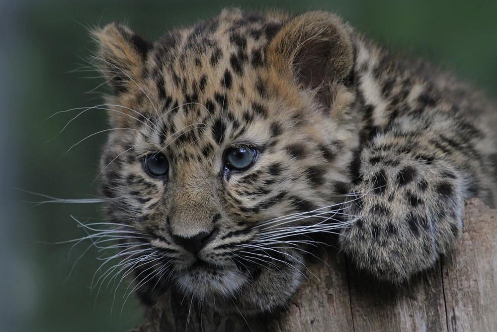 Amur leopard cub perched over a tree stump