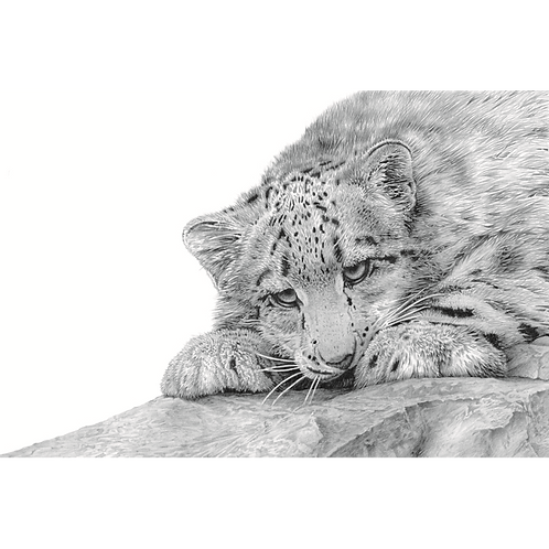 Close up head portrait of a Snow Leopard Cub looking over a large rock