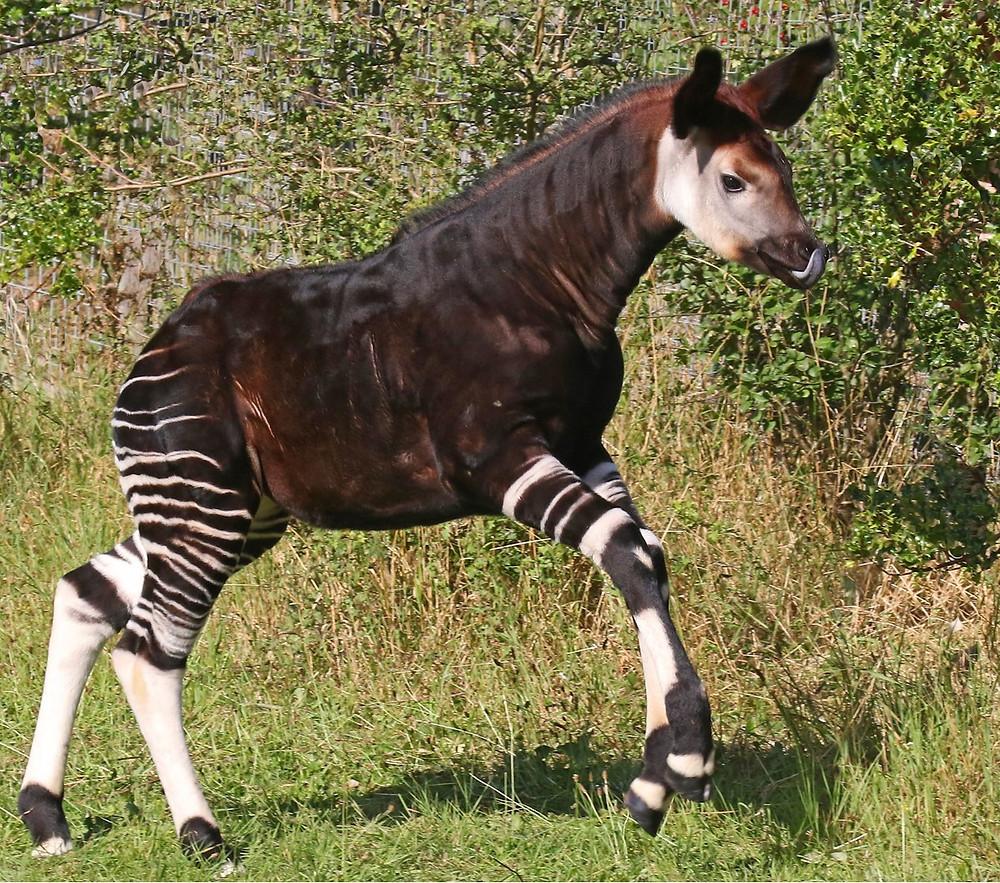 Baby Okapi running in the grass