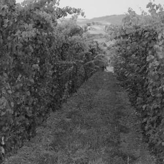Ein junger Weingarten
