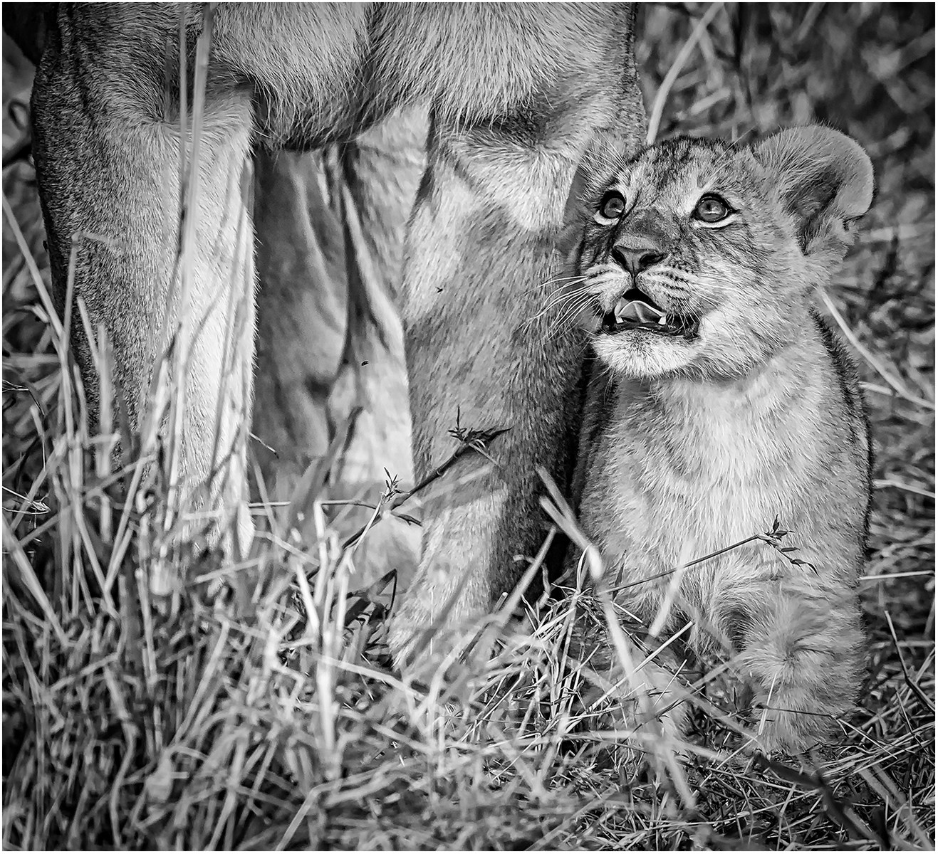 MONO -  A Little Cub  by Brendan Hinds (10 marks)