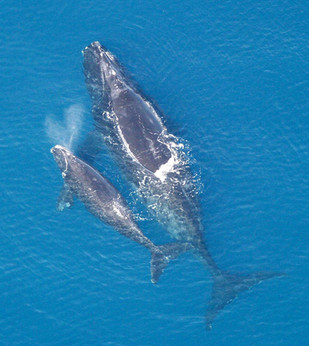 Southern Right Whales spotted