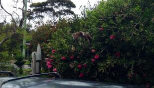 Koala hitching a ride?