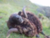 Arapawa Ram hunting