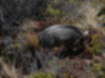 Pig hunting New zealand