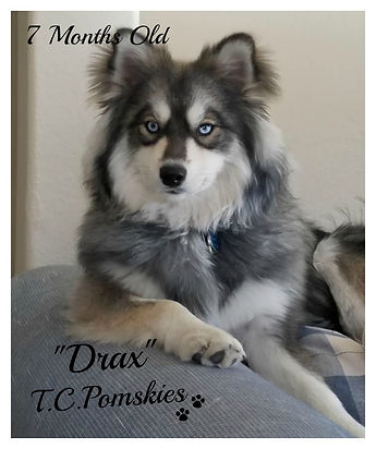Drax the Pomsky