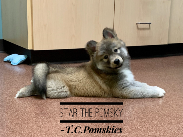 Star the Pomsky