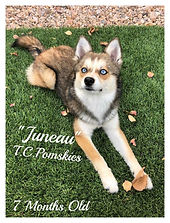Juneau is an F2 Pomsky