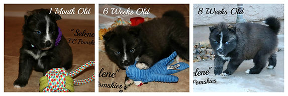 Cali the Pomsky from 1 day old to 8 weeks old