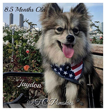 Jaydon the Pomsky