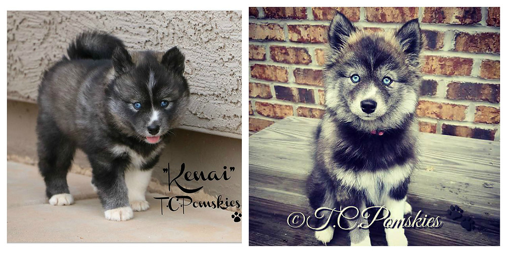This is Kenai and F1b Pomsky at 8 weeks of age and at almost 4 months of age.
