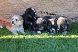 Group Suri Pups pic