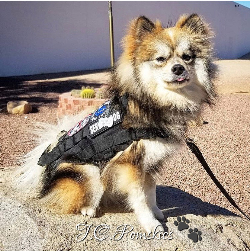 Jaydon the Pomsky bred by T.C.Pomskies is a Service dog trained in scents and agility. He's won several awards and certifications.