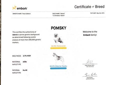 Is a Pomsky Pure bred?