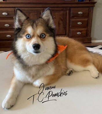 Juneau the Pomsky.png