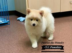 Patriot the Pomsky