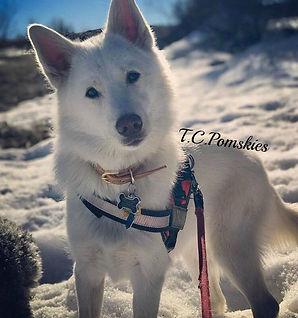 Abel is an F1 Pomsky 50/50 Siberian and Pomeranian