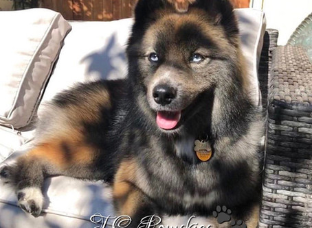 Thinking of buying a Pomsky?!