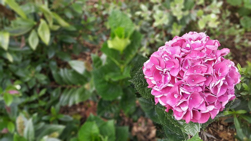 Hope Family Funeral Home garden hydgrangea