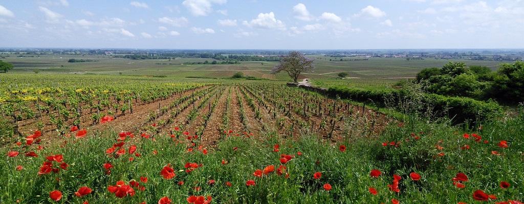 Entre Volnay, Monthelie et Meursault