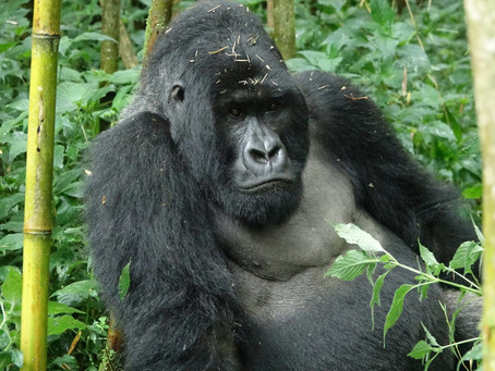 Everything you need to know about trekking with mountain gorillas