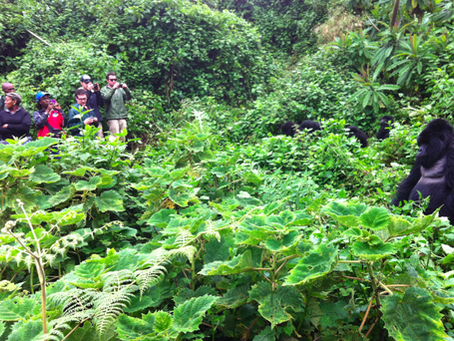 The cost of Gorilla trekking Safari in Uganda and Rwanda – Gorilla Trekking price