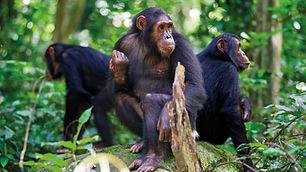 chimps-.jpg