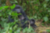 Gorilla safaris in Rwanda