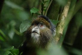 Golden Monkeys Rwanda.jpg