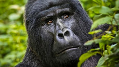 Gorilla safaris in Volcanoes Nat Park