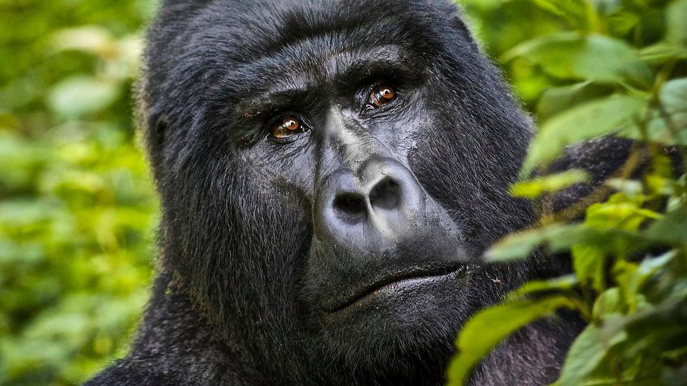 Gorilla Trekking Rwanda.jpg