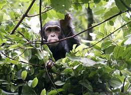 Chmpanzee trekking i Nyungwe Nat Fores